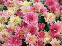 Mums. Seasonal flowers: bouquet of pink and white mums royalty free stock images