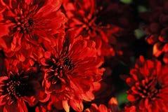 Mums vermelhos imagens de stock royalty free