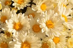 Mums. White mums with yellow blotch in center royalty free stock photos