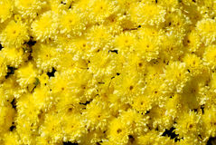 Mums Wild flowers colorful yellow blooms. Sunny Mums Fresh growing wild yellow  autumn flowers Royalty Free Stock Photography