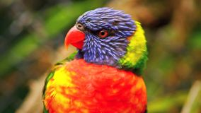 Mun för regnbågeLorikeet öppning, färgglad fågel - nära övre HD stock video
