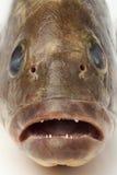 Mun och tänder av en dunkel havsaborre royaltyfri bild