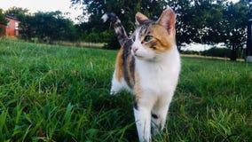 Calico Cat 3 Stock Images