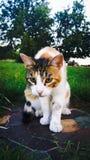 Calico Cat 4 Stock Image