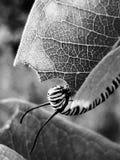 Munching caterpillar. Black and white caterpillar stock photo