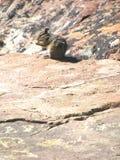 Munching Chipmunk Στοκ Εικόνα