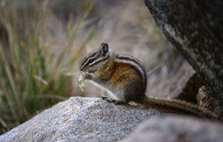 Munching Chipmunk. A Least chipmunk prepares for winter and eats grasses and seeds in Rocky Mountain national park during fall season Royalty Free Stock Images