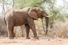 Munching Elephant. A lone elephant munches on a branch in South Africa`s Kruger National Park royalty free stock photography