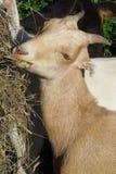 Munching goat Royalty Free Stock Photo