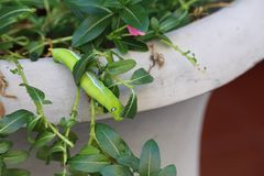 Munching large green caterpillar on potted plant Stock Photos