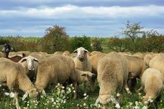 munching le pecore Immagine Stock