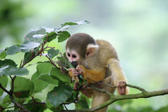 Munching on the leaves. Cute little squirrelmonkey munching on some leaves royalty free stock photo