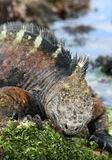 Munching Marine Iguana Stock Photo