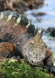 Munching Marine Iguana Stock Photo
