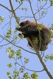 Munching Porcupine Royalty Free Stock Photos