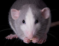 Munching Rat. A baby dumbo rat is eating some puffed cereal stock photography