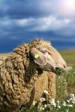 Munching sheep. Sheep munching fresh camomile in a field royalty free stock photos