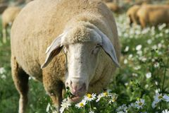 Munching sheep. Sheep munching fresh chamomile in a field royalty free stock images