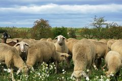 Munching sheep. Herd of sheep munching fresh chamomile in a field stock image