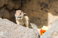 Munching squirrel holding a piece of an apple in its hands Stock Photography