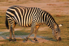Munching Zebra - Safari Kenya. A wonderful zebra photographed while it was munching, in Kenya Stock Photos