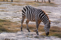 Munching Zebra - Safari Kenya Stock Images