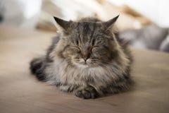 Munchkin小猫睡觉 免版税库存图片
