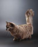 猫munchkin 免版税库存图片