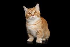 Munchkin Cat on Black background Royalty Free Stock Photo