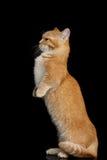 Munchkin Cat on Black background Royalty Free Stock Image