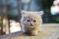 Munchkin Cat Lovely, KamphaengPhet-Provinz Lizenzfreies Stockbild