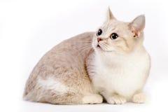 Munchkin katt arkivbilder