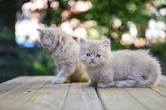 Munchkin-Katze Stockfotos