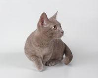 Munchkin kitten Royalty Free Stock Photos