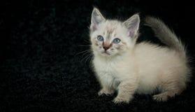 Munchkin Kitten Royalty Free Stock Image