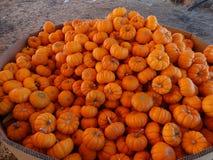 Munchkin pumpkin, Cucurbita pepo Stock Images