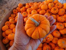 Munchkin pumpkin, Cucurbita pepo Royalty Free Stock Photo