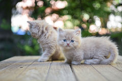 Munchkinkat Stock Foto's