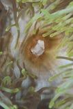 Mund der ausgezeichneten Anemone. stockbild