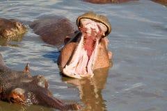 Mund des Nilpferds Stockfoto