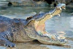 Mund geöffnetes Krokodil mit Geld nach innen Lizenzfreie Stockfotografie