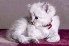 Mundo em desenvolvimento pequeno do gatinho Foto de Stock Royalty Free