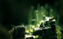 Mundo mágico del musgo macro Imagen de archivo libre de regalías