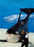 Mundo San Diego do mar - orca e instrutor   Fotografia de Stock Royalty Free