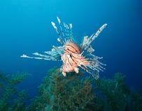 Mundo subacuático en agua profunda en flora de las flores del arrecife de coral y de las plantas en la fauna marina del mundo azu fotografía de archivo libre de regalías