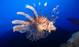 Mundo subacu?tico en agua profunda en flora de las flores del arrecife de coral y de las plantas en la fauna marina del mundo azu fotos de archivo