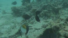 Mundo subacuático magnífico del Océano Índico, Maldivas Arrecifes de coral muertos y pequeños pescados del colorfull snorkeling almacen de metraje de vídeo