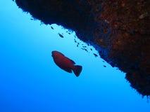 Mundo subacu?tico en agua profunda en flora de las flores del arrecife de coral y de las plantas en la fauna marina del mundo azu imágenes de archivo libres de regalías