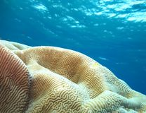Mundo subacu?tico en agua profunda en flora de las flores del arrecife de coral y de las plantas en la fauna marina del mundo azu foto de archivo libre de regalías