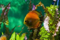 Mundo subaquático com algas brilhantes e os peixes grandes imagem de stock royalty free